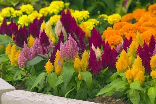 Целозия метельчатая – экстравагантный цветок