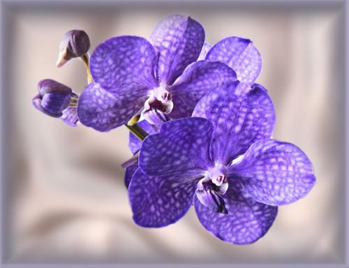 Королева орхидей – ванда