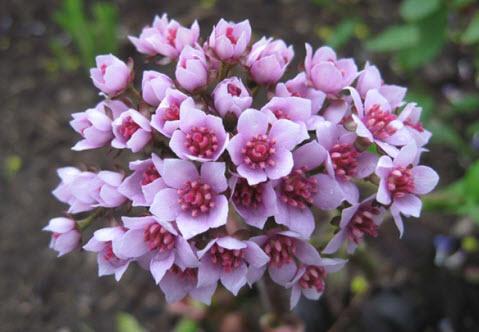 Пельтифиллум - прибрежное растение