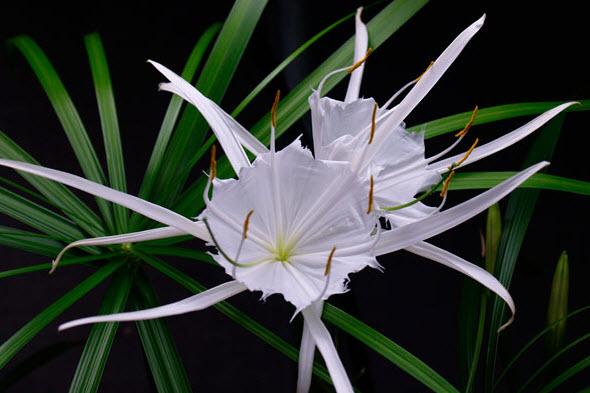 Панкрациум цветка