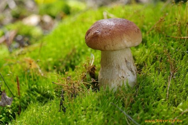 Боровик - царь грибов
