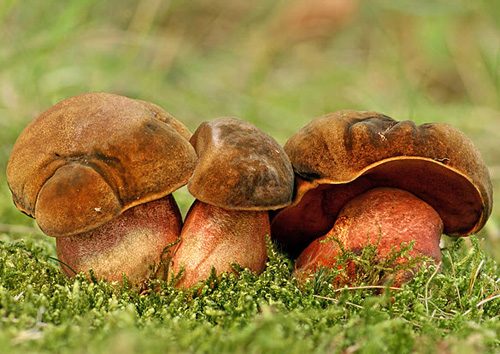 глухая лисичка гриб фото