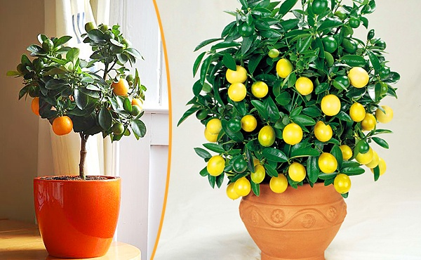 Почему у комнатного лимона липкие листья