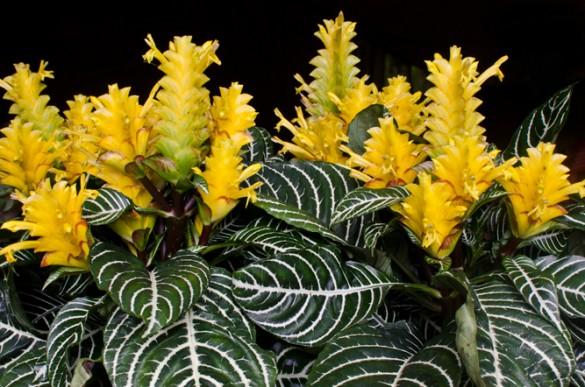 Комнатный цветок - Афеландра