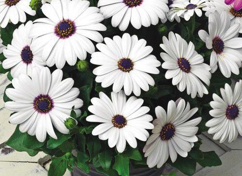Остеоспермум - красивый декоративный цветок