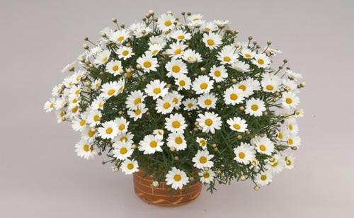 Аргирантемум - ромашка или хризантема маргаритковая