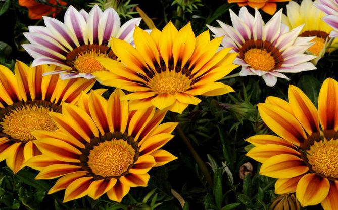 Газания — светолюбивое и теплолюбивое растение