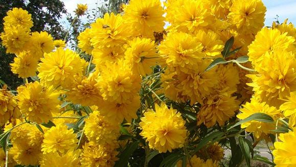 Гелиопсис - Ярко-желтые цветы
