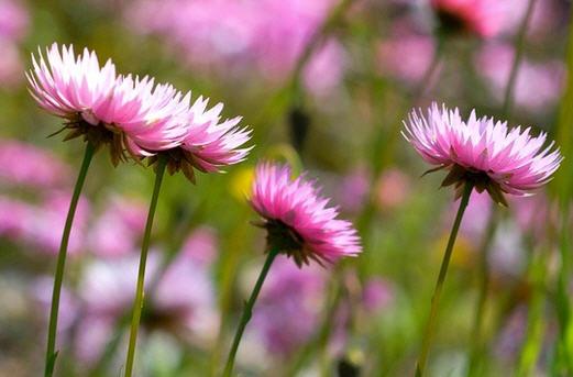 Гелиптерум - способ выращивания и уход