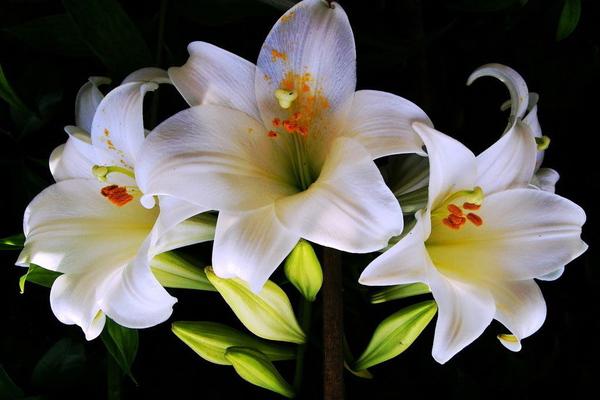 Белая лилия - вред и польза