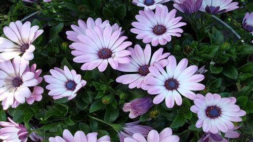 Диморфотека - неприхотливое многолетнее растение