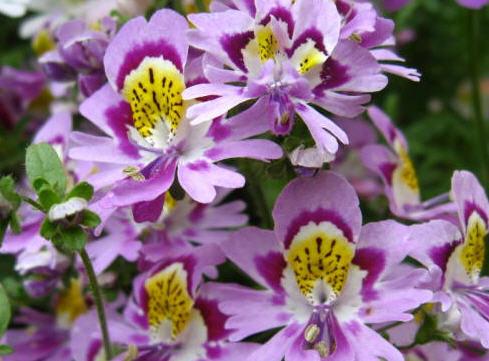 Схизантус - очень красивое растение