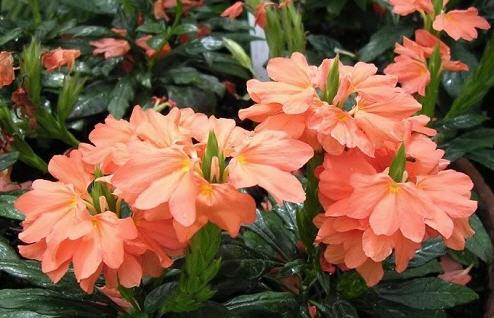 Кроссандра - фейверк цветов
