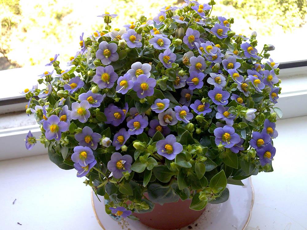 Экзакум - комнатное красивоцветущее растение
