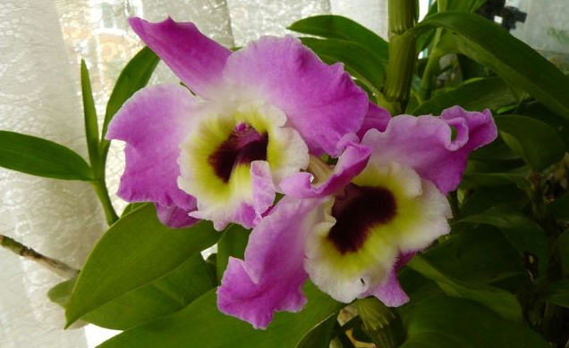 Дендробиум - из рода орхидей
