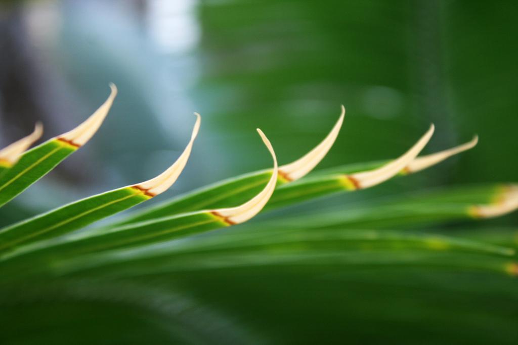 Сохнут кончики листьев у комнатных цветов