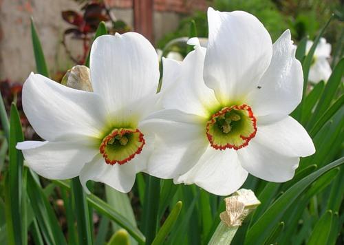 Нарцисс - польза и вред