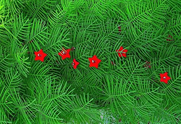 Выращивание квамоклита