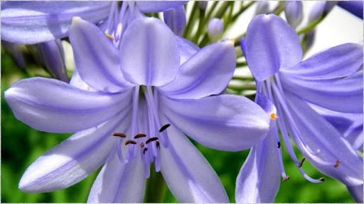 Агапантус - любимый цветок