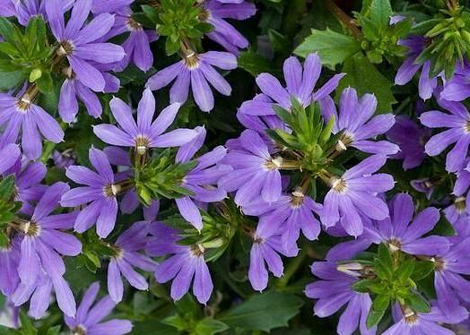 Сцевола приятная - цветок из австралии