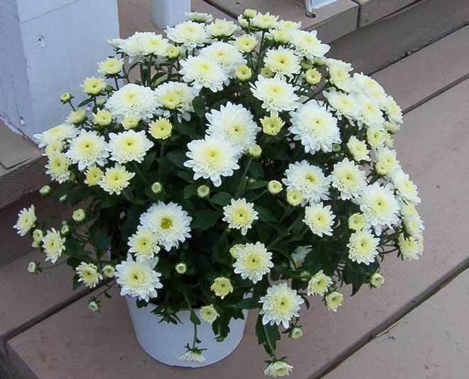 Как дать вторую жизнь хризантеме из букета