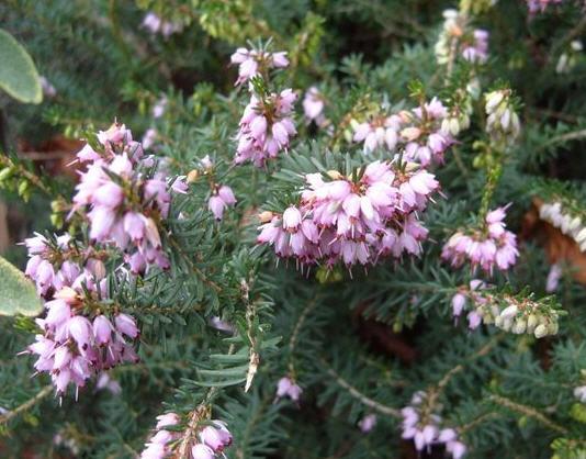 Эрика травяная - низкорослый кустарник