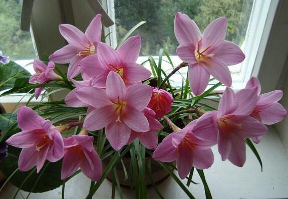 Зефирантес - цветок западного ветра