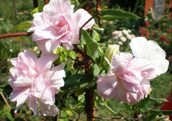 Калистегия - сибирская роза и лиана
