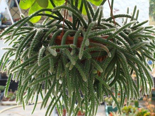 Рипсалис из семейства кактусовых