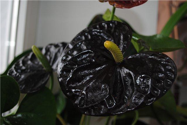 Черная королева - антуриум