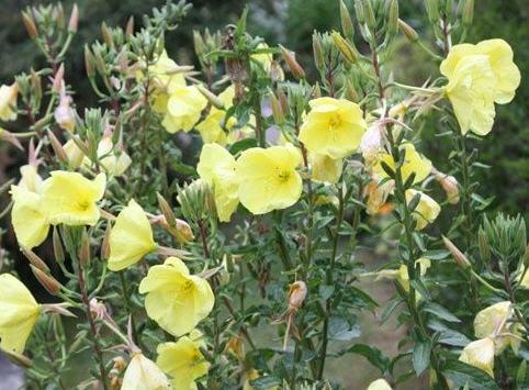 Энотера двулетняя - лекарственное растение