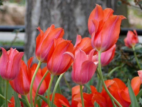 Всё о тюльпане Темпл оф Бьюти