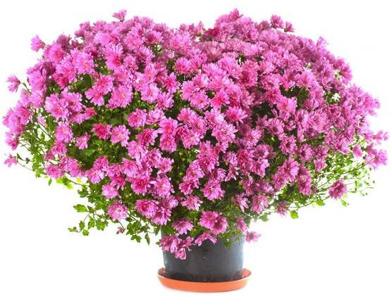 Лучшие цветы в горшке в подарок на 8 марта