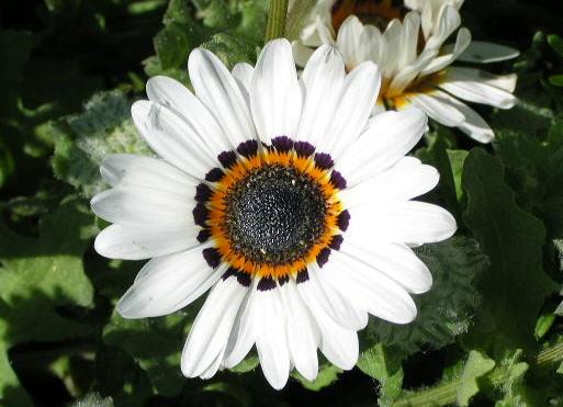 Выращивание венидиума из семян