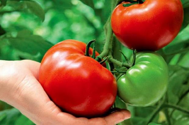 Красивые и вкусные помидоры выращенные без химии