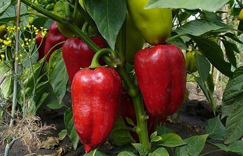 Как правильно выращивать перец