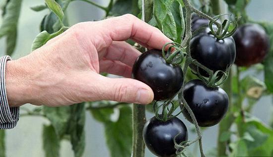 Черные и белые помидоры