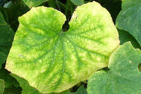 В парнике желтеют листья у огурцов - причины