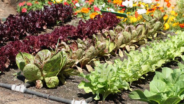 Как нужно совмещать овощи на огороде