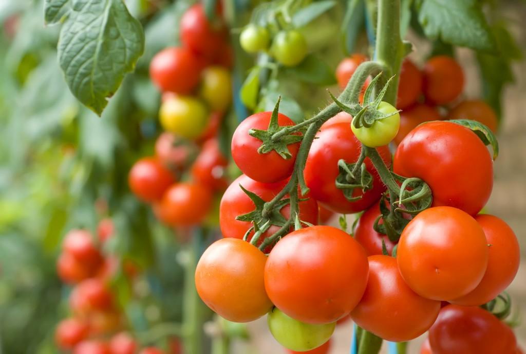 Как часто поливать тепличные помидоры