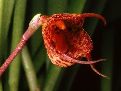 орхидея дракула