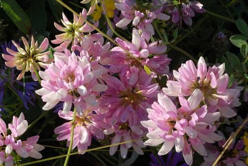 Вязель разноцветный - полезные свойства травы