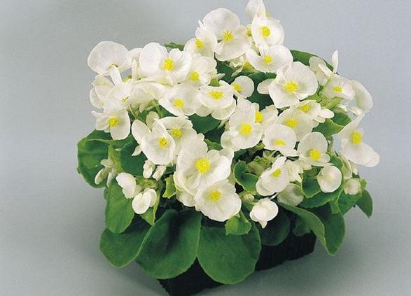 Бегония всегдацветущая - растение, которое всегда цветёт