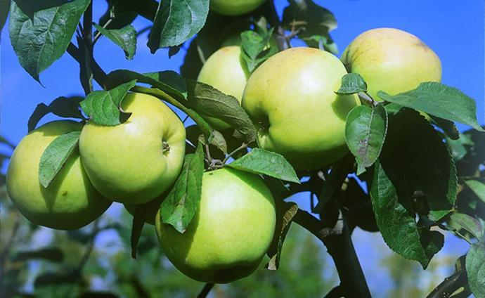Лучшие зимостойкие сорта яблонь