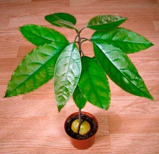 Выращивание дерева авокадо в домашних условиях