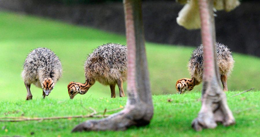 Нюансы выращивания страусят