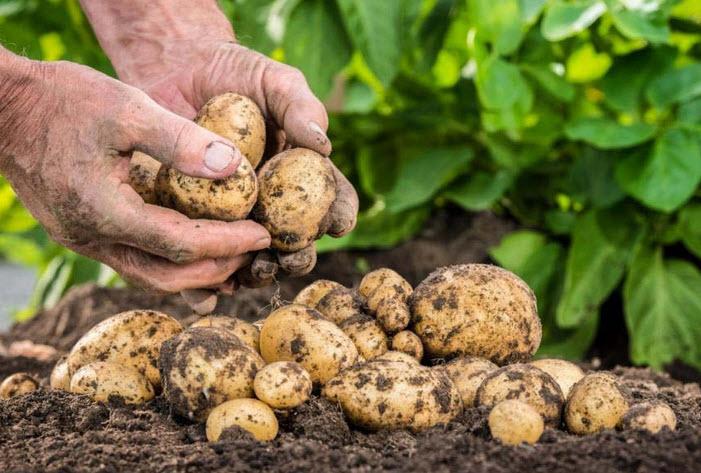 Боремся с вредителями картофеля