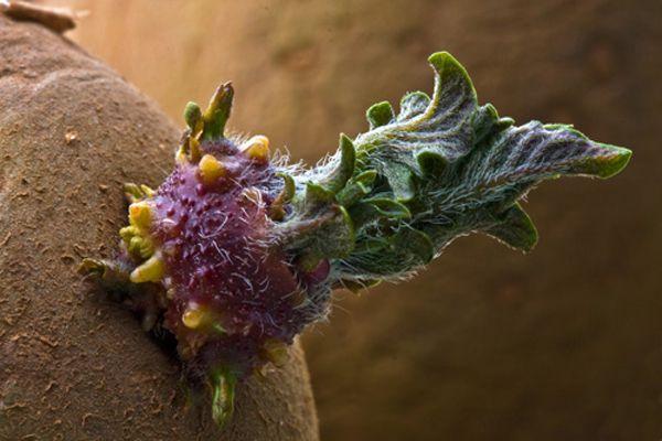 Проращивание семенных клубней картофеля