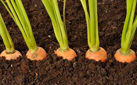 Выращивание моркови в открытом грунте в Подмосковье