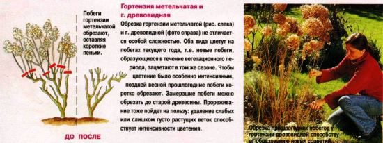 Время для посадки гортензии: почему осень